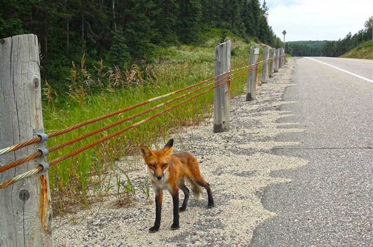 algoma fox roadside