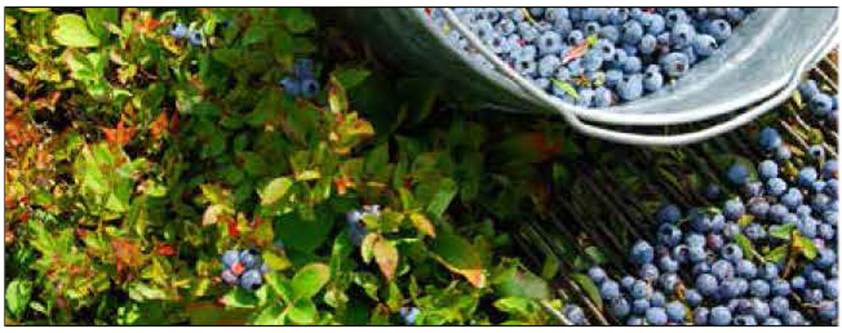 Blueberries- Local delights