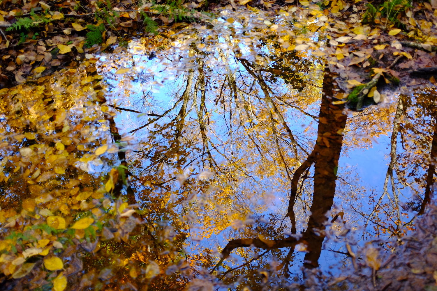Reflection of yellow leaves in water